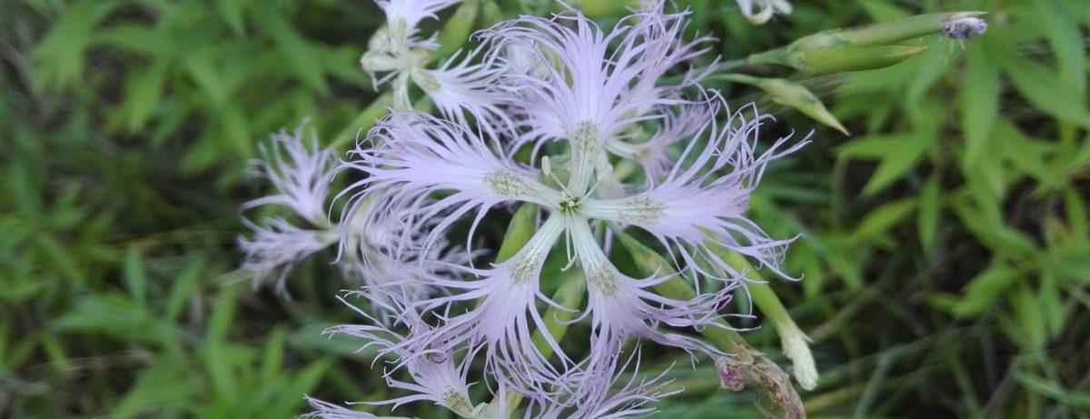 fleur d'oeillet superbe