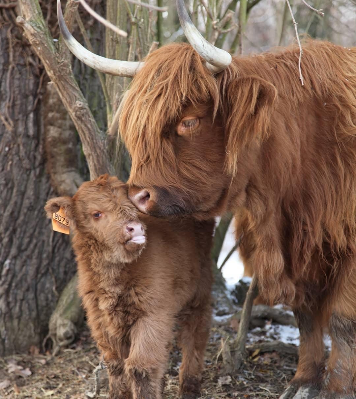 Une vache et son veau